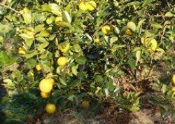 画像1: 低農薬レモネーディア:小ぶりちゃん
